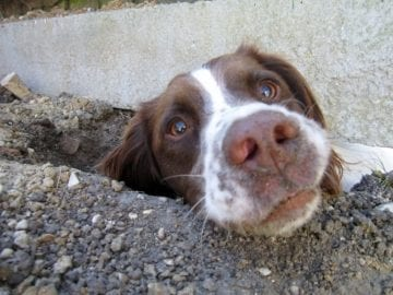 Dog Digging under Fence